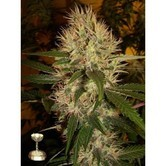 Martian Mean Green (DNA Genetics) feminisiert