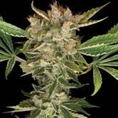 Martian Kush (DNA Genetics) feminized