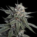 Holy Grail Kush (DNA Genetics) feminisiert