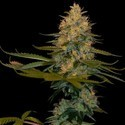 Exodus Kush (DNA Genetics) feminized