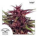 Twilight (Dutch Passion) feminized