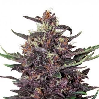 Buddha Purple Kush Auto (Buddha Seeds) feminisiert