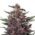 Buddha Purple Kush (Buddha Seeds) feminisiert