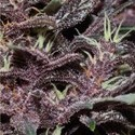 Buddha Purple Kush (Buddha Seeds) feminized