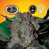 L.A. Cheese (Big Buddha Seeds) feminisiert
