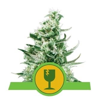 Royal Critical Automatic (Royal Queen Seeds) femminizzata