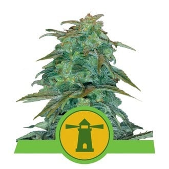Royal Haze Automatic (Royal Queen Seeds) feminisiert