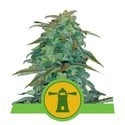 Royal Haze Automatic (Royal Queen Seeds) feminized