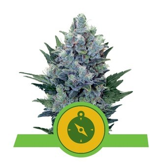 Northern Light Automatic (Royal Queen Seeds) feminized