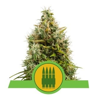 Royal AK Automatic (Royal Queen Seeds) feminisiert