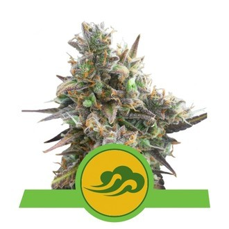 Royal Bluematic (Royal Queen Seeds) feminisiert