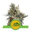 Royal Bluematic (Royal Queen Seeds) feminized