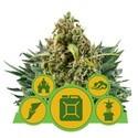 Mix Autofiorente (Royal Queen Seeds) femminizzato