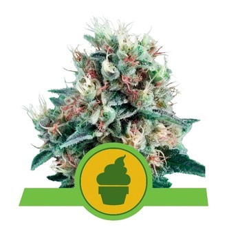 Royal Creamatic (Royal Queen Seeds) feminisiert