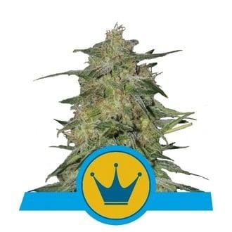 Royal Highness (Royal Queen Seeds) feminisiert