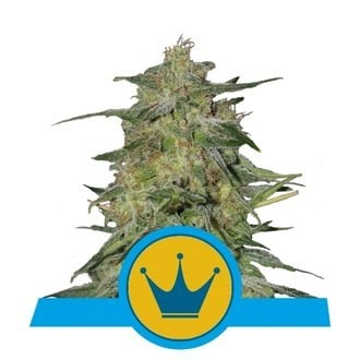 Royal Highness (Royal Queen Seeds) feminized