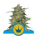 Royal Highness (Royal Queen Seeds) Femminizzata