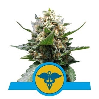 Royal Medic (Royal Queen Seeds) femminizzata