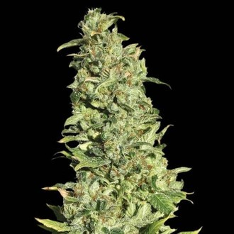 High Level (Eva Seeds) feminized
