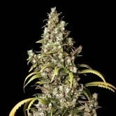 Monster (Eva Seeds) feminized