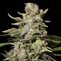 TNT Kush (Eva Seeds) feminized