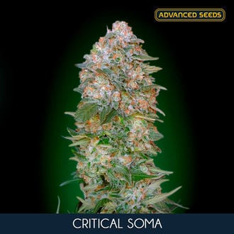 Critical Soma (Advanced Seeds) feminisiert