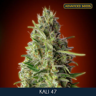 Kali 47 (Advanced Seeds) feminisiert