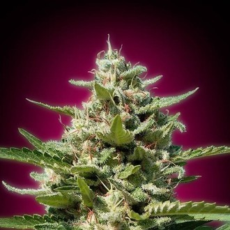 White Kush (Advanced Seeds) feminisiert