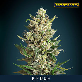 Ice Kush (Advanced Seeds) feminisiert