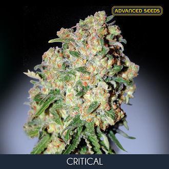 Critical (Advanced Seeds) feminisiert
