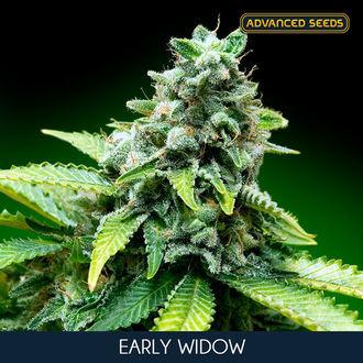 Early Widow (Advanced Seeds) feminisiert