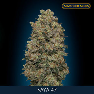 Kaya 47 (Advanced Seeds) feminisiert
