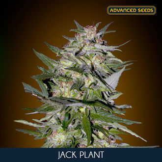 Jack Plant (Advanced Seeds) feminisiert