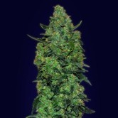 Auto Skunk Mass (Advanced Seeds) feminized