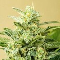 Auto Low Girl (Advanced Seeds) feminisiert
