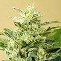 Auto Low Girl (Advanced Seeds) femminizzati
