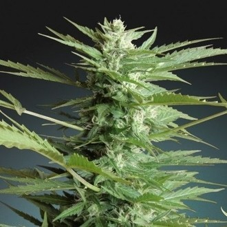 Auto Sweet Dwarf (Advanced Seeds) femminizzata