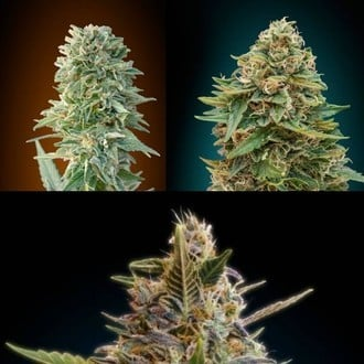 Automatik Mix (Advanced Seeds) feminisiert