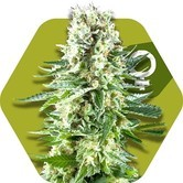 White Widow XL (Zambeza) femminizzata