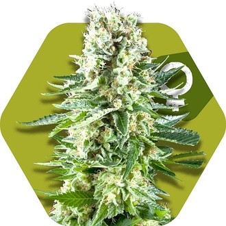 White Widow XL (Zambeza) feminized