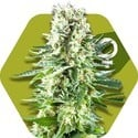 White Widow XL (Zambeza) feminisiert
