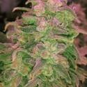 Hawaii Maui Waui (Nirvana) feminized