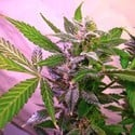 Blue Mystic (Nirvana) feminized