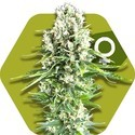 Northern Lights XL (Zambeza) feminisiert