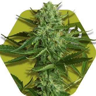 White Widow Haze (Zambeza) feminisiert