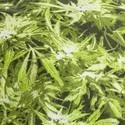 Cappello militare Cannabis