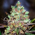 Cotton Candy (Delicious Seeds) feminized