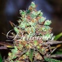 Cotton Candy (Delicious Seeds) feminisiert