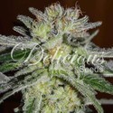 Northern Light Blue (Delicious Seeds) feminisiert