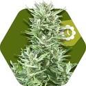 Big Bud XXL Autoflowering (Zambeza) feminisiert